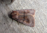 10524 - Nephelodes minians; Bronzed Cutworm Moth