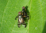 Rivellia coquilletti; Signal Fly species