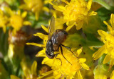 Musca House Fly species