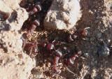 Pogonomyrmex Harvester Ant species