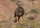 Harris's Hawk; juvenile