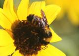 Bombus sonorus; Bumble Bee species