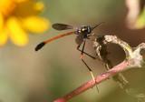 Systropus arizonicus; Bee Fly species
