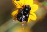 Copestylum mexicanum; Mexican Cactus Fly