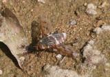 Exoprosopa Bee Fly species