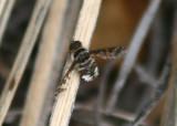 Lepidanthrax disjunctus; Bee Fly species