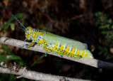 Grasshoppers, Crickets, and Katydids