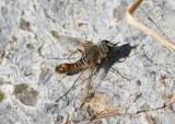 Aphoebantus Bee Fly species