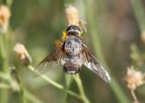 Paravilla Bee Fly species