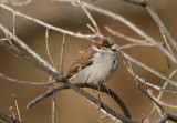 House Sparrow; fall male; exotic