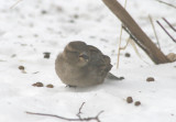 House Sparrow; female; exotic