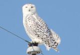 Snowy Owl; female
