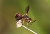 Physocephala Thick-headed Fly species