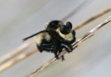 Mallophora orcina; Southern Bee Killer