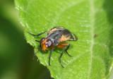 Euthera tentatrix; Tachinid Fly species