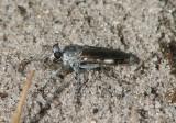 Stichopogon trifasciatus; Three-banded Robber Fly