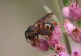 Dianthidium floridiense; Leaf-cutter Bee species; male
