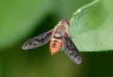 Neodiplocampta miranda; Bee Fly species