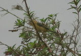 White-collared Seedeater; female