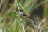 White-collared Seedeater; male