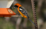 Hooded Oriole; male