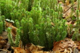 Lycopodiophyta - Clubmosses