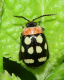 Flea Beetle, Oedioychus sp. (Chrysomelidae: Alticini)