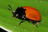 Pleasing Fungus Beetle, Iphiclus sp. (Erotylidae: Erotylinae)