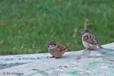 Italiaanse mus / Italian Sparrow