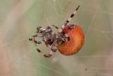 Araneus quadratus / Viervlekwielwebspin / Four-spot-orb-weaver