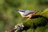 Boomklever / Nuthatch