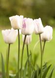 tulip - shirley