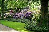 lime avenue rhodedendrons