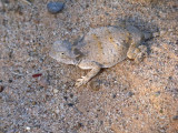 Camouflage - Horned Lizard