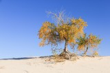 Fall foliage on cottonwood trees in White Sands NP