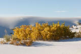 Tops of cottonwood trees -- the rest of the tree is buried under the sand