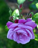 Portland Japanese rose garden
