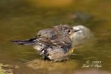 Yellow-rumped Audubon's  Warbler
