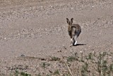 White-tailed Jackrabbbit