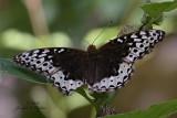 Great Spangled Fritillary female