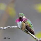 Nighthawk, Hummingbird, Kingfisher