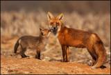 red_fox_2009