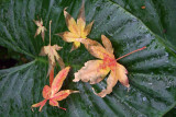 An Elephant's Ear collects some Japanese Maple leaves