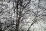 Birches through window, rain good soaking rain at last.