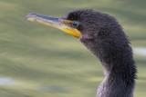 cormorant 85