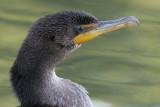 cormorant 86