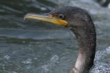 cormorant 87