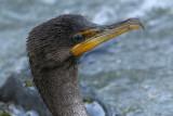 cormorant 88