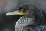 cormorant 89