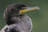 cormorant 103